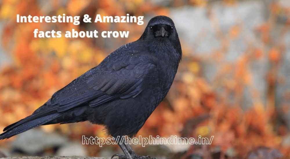 https://helphindime.in/interesting-amazing-facts-about-crow-meaning-in-hindi/